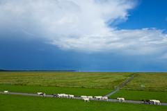 Tiefwetterfront Salzwiesen 23072017 1200 px (fabian_luehrs) Tags: deich unwetter regen schafe salzwiesen pfad jadebusen wattenmeer wilhelmshaven schlicktown canon