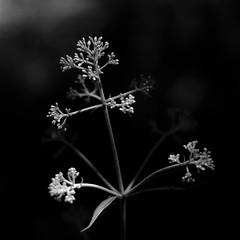 Summer Wildflowers 043 (noahbw) Tags: d5000 dof nikon oldschoolforestpreserve abstract blackwhite blackandwhite blur bw dark darkness depthoffield flowers forest light monochrome natural noahbw quiet shadow square still stillness woods