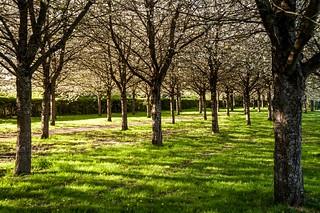 Cesson, cerisiers, 4
