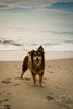 SZP_8843_pslr5 (Lakeside Annie) Tags: 2017 20170719 aussie australianshepherd bethanybeach bethanybeachde bethanybeachdelaware d7100 delaware denali july19 leannefzaras nikon nikond7100 redtri redtriaussie sarazphotography sigma sigma1770mm wednesday beachdog dog sandynose sandypaws beach delawarebeach