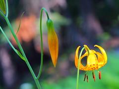IMG_2123 Kelley's Lily (Lilium kelleyanum), Sequoia National Park (ThorsHammer94539) Tags: sequoia national park