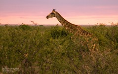 Morning walk (Dreamcatcher photos) Tags: giraffe etosha sunrise bush namibia dreamcatcherphotos