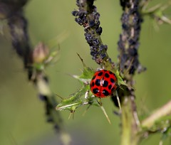 Bed and breakfast...HBBBT ! (Kez West) Tags: ladybird ladybug aphids insects nature hbbbt summer july thistle spots