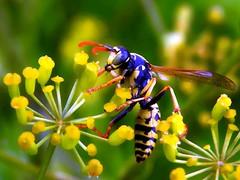 Wespe versucht einen Spagat. (Wallus2010) Tags: insekt wespe blüte pollen nikon p900 nahaufnahme makro macro spagat