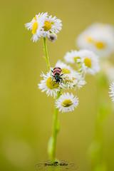 DSC_3113 (Franck.H Photography) Tags: macro insectes araignée coccinelle