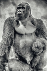 Oscar Jonesy (Thomas Hawk) Tags: animal ape bayarea california oscarjonesy sfbayarea sanfrancisco sanfranciscobayarea sanfranciscozoo usa unitedstates unitedstatesofamerica aniimal bw gorilla monkey silverback silverbackgorilla zoo us fav10 fav25 fav50