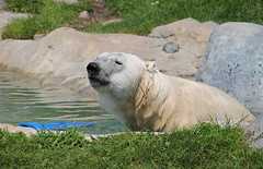 A day at the zoo (wessexman...(Mike)) Tags: infocus highquality polarbell torontozoo polarbear