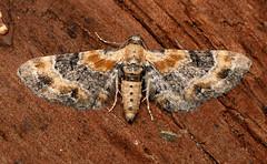 1816_Toadflax Pug Eupithecia linariata_Childswickham_170717 (Oliver-W) Tags: toadflax pug eupithecia linariata