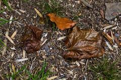 IMG_0036 Crispy (oldimageshoppe) Tags: leaves dry crispy shiny overcast sun summer