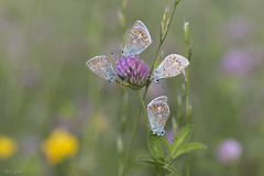 How lucky can you be (Thijs de Bruin) Tags: geluk lucky commonblue icarusblauwtje bloem natuur nature macro vlinder butterfy