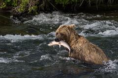 Good Catch (blackhawk32) Tags: alaska bears katmainationalpark northamericanbrownbear grizzlybear bearfishing bear canon brooks falls
