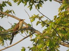 Yellow-billed Cuckoo (jdf_92) Tags: indiana lakemonroe bird yellowbilledcuckoo coccyzusamericanus cuckoo