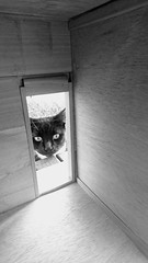 Outside Looking In (cheshycat) Tags: blackcat blackandwhite curiouscat kitty