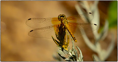 Flying Machine (Karen McQuilkin) Tags: dragonfly gold shadow machine insect flyingmachine wings