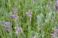 fullsizeoutput_9788 (Fan Majie 範瑪姐) Tags: mimicry lavendel bugs