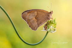 Maniola jurtina - Meadow brown (Linnaeus, 1758) (Bradiponi) Tags: insect insects insetti insetto naturalistic naturalistica nature wildlife warm sunset orange yellow green brown butterfly farfalla
