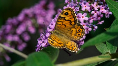Butterfly | Schmetterling (jensfechter) Tags: elements schmetterling butterfly admiral garten garden natur nature green orange pink flieder syringa common lilac