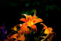 Flowers (Valery_RW) Tags: rw photo flowers winnipeg manitoba canada