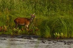 Red Deer (wildwalker3) Tags: mammals deer reddeer nature leightonmoss wildlife animal naturephotography nikon d3200