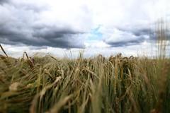 Moving grain (_dankhn) Tags: clouds cloudy grain korn field countryside wolken landscape feld atmosphere windy rye roggen sauerland hochsauerland