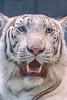 Spica ♂ - Hot Day (Belteshazzar (AKA Harimau Kayu)) Tags: spica tiger zoo animal bigcat bigcats feline bengaltiger pantheratigristigris königstiger indischertiger eltigredebengala tigredubengale latigrerealedelbengala бенгальскийтигр 孟加拉虎 whitetiger weisertiger tigreblanco tigreblancroyal белыйтигр 孟加拉白虎 zooshot tobu tobuzoo snowwhite mirrormirror babytiger baby kid keddo