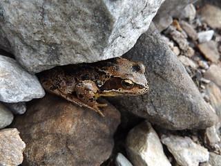 Frog on the Pap of Glencoe, Highland, Scotland, 23 July 2017