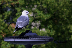 Seagull (Linnea from Sweden) Tags: seagull bird nature canon eos 1100d efs 55250mm f456 is