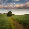 Nettleden (Damian_Ward) Tags: damianward ©damianward hertfordshire herts decorum tree lone field countryside beech nettleden flax