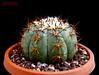 Echinocactus horizonthalonius v. moelleri 3 (Nyxtofulakas) Tags: echinocactus horizonthalonius v moelleri cactus plant nature succulent slp san luis potosi spines