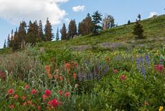 Carson Pass Wildflowers (phoca2004) Tags: alpine alpinecounty alpinemeadow californianativeplants carsonpass d90 eldoradonationalforest meadow mokelumnewilderness nikon wildflowers flowers california unitedstates us