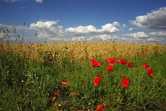 Mohn am Feldrand (günter mengedoth) Tags: sommer mohn korn feld wolken