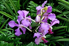 Orchid (chooyutshing) Tags: flowers orchid orchidextravaganza floraldisplay flowerdome gardensbythebay baysouth marinabay singapore