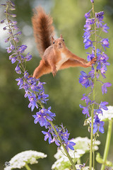squirrel between Delphinium in split (Geert Weggen) Tags: beauty blossom blue closeup colorimage delphinium extremecloseup field flower flowerhead flowerbed fragility greencolor growth herb leaf macrophotography multicolored nature nopeople outdoors perennial petal photography plant publicpark scenicsnature season spice springtime summer vertical vibrantcolor eurasianredsquirrel autumn animalwildlife animalsinthewild winter woodland squirrel rodent mammal garden split spread yoga reaching sweden geertweggen geert geertweggenhardekozweden bispgården jämtland ragunda