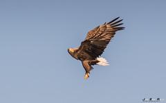 Havørn-0613 (jarud) Tags: 2017 eagle fugl havørn naturopplevelser norge norway smøla whitetailed ørn