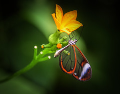 Open & Transparent (10000 wishes) Tags: butterfly insect seethrough flower nature wildlfe macro garden beautiful outdoors delicate