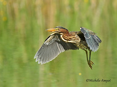 En vol - Héron vert / Green heron - flying (mitch099) Tags: nature sauvage wildlife beauté beauty animal oiseau bird échassiers été summer lanaudiere quebec mitch099 micheleamyot animalia chordata aves pelecaniformes ardeidae butorides virescens heron vert green vol flying