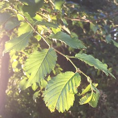 #green #leaves #tree #branch #nature #instagram @photobypixie (Photography By Pixie) Tags: photo photography instagram iphone iphoneography picture green leaves tree branch nature photobypixie