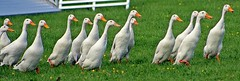 Duck Herding - Devon County Show - May 2017 (Dis da fi we (was Hickatee)) Tags: duck herding devon county show