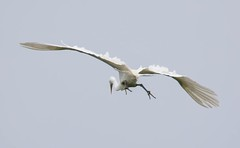 2U7A3450 (rpealit) Tags: scenery widllife nature ocean city rookery great egret bird