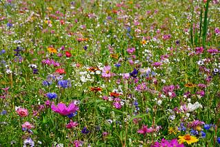 Blumenwiese im Blauen Land