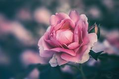 Rose (*Photofreaks*) Tags: gruga grugapark park essen ruhr ruhrgebiet nrw nordrheinwestfalen deutschland germany adengs wwwphotofreakseu flowers blumen rosen roses