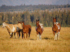 Horses in the Tetons (Jeffrey Sullivan) Tags: teton national sullivan statesroad park landscape nature travel photography wyoming united states grandtetonnationalpark grand