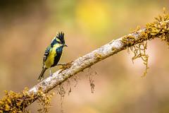 Back-lored tit (shoothekuruvi) Tags: birds indianbirds nikon d750 600mm india wildlife