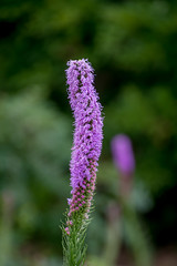 tall flower (Pejasar) Tags: tall bloom blossom nature plant green purple height tulsa zoo oklahoma