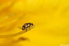 It's All Yellow (Vie Lipowski) Tags: ladybug ladybird ladybeetle yellowcheckeredladybug propyleaquattuordecimpunctata 14spotladybirdpropyleaquattuordecimpunctata p14punctata yellowdaylily hemerocallis insect bug beetle flower summer wildlife nature macro