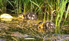 2U7A2243 (rpealit) Tags: scenery wildlife nature east hatchery alumni field mallard ducks bird
