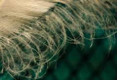 Feather (San Francisco Gal) Tags: memberschoicetexture macromondays macro feather