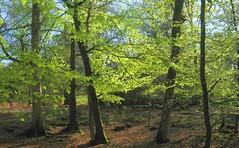 New Forest NP, Hampshire, England (east med wanderer) Tags: england uk hampshire lyndhurst forest woodland markashwood beech trees spring newforest nationalpark