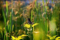 waiting (david_sharo) Tags: nature wildlife bird moraine pennsylvania