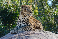 Best seat  in the house. Mala Mala Game Reserve (South Africa (tomfriedel1) Tags: leopard africa south mala reserve game